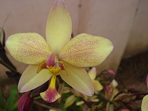 മലയാളം: Orchids belong to orchidaceae family