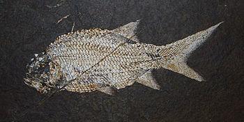 Paramblypterus spec., Paramblypteridae; Carbon...