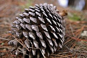 Pinus radiata cone
