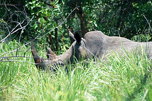 English: Black rhino in the Ziwa Sanctuary, Uganda