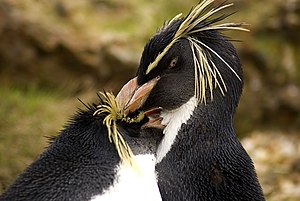 Rockhopper Penguins (Eudyptes chrysocome) pree...