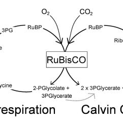 Calvin Cycle Diagram Hpi Savage 25 Parts Photorespiration — Wikipédia