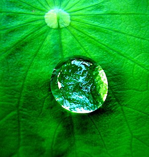 A drop of water on a leaf. The leaf is hydroph...