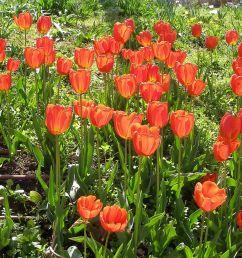 Tulip - Wikipedia [ 823 x 1200 Pixel ]