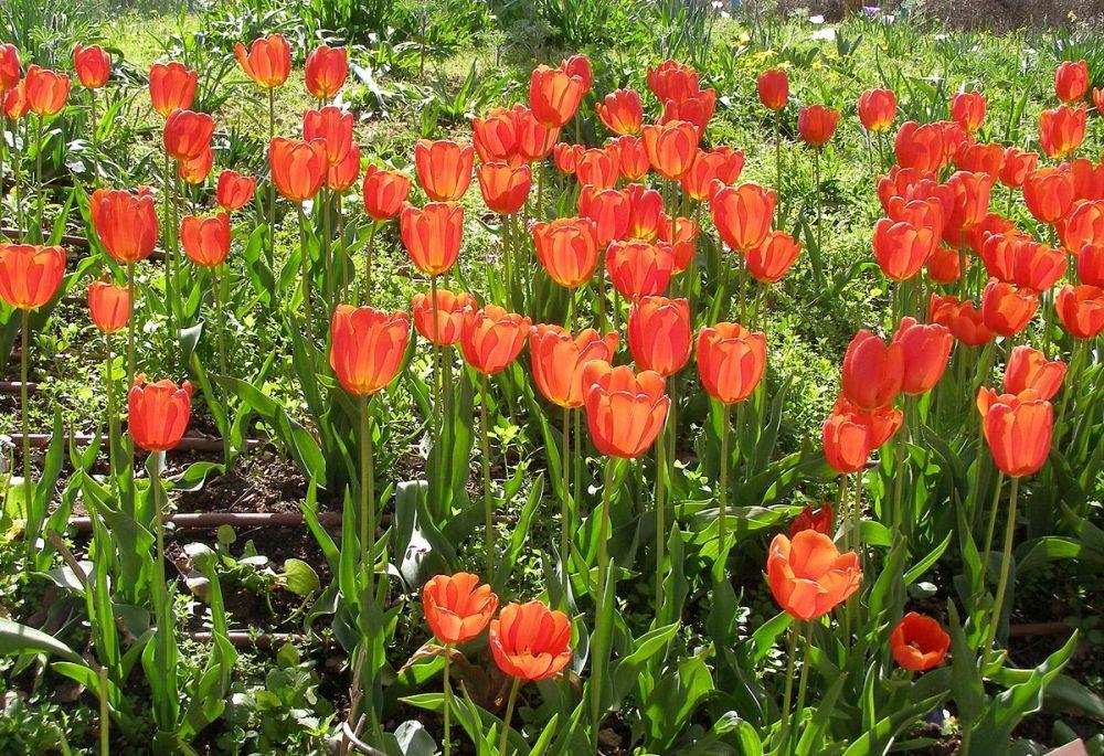 medium resolution of Tulip - Wikipedia