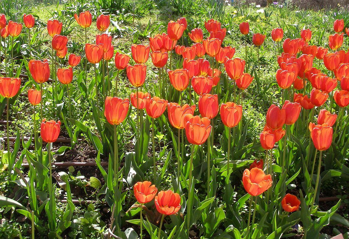 hight resolution of Tulip - Wikipedia