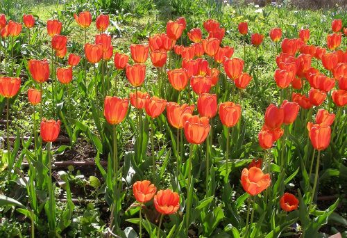 small resolution of Tulip - Wikipedia