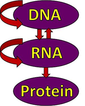 Illustration of the central dogma of biology: ...