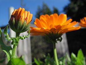 English: Morning dew on a flower