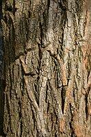 Robinia pseudoacacia  Wikipedia