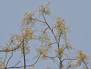 English: Sonjna Moringa oleifera at Narendrapu...