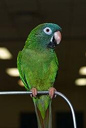 Bluecrowned parakeet  Wikipedia