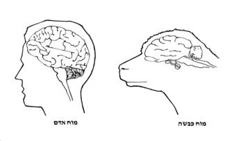 English: sheep and human brain עברית: מוח כבשה...