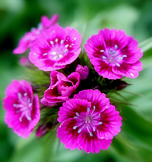 Photo of some pink Sweet William flowers (Dian...