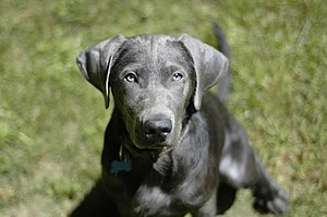 """Cooper, a 20-week-old """"silver"""" Labra..."""
