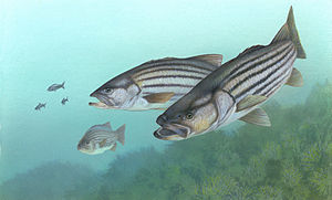 English: Striped Bass (Morone saxatilis) Franç...