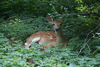 A Northern white-tailed deer fawn in Berwyn, P...