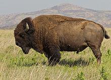 american bison wikipedia