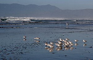 English: Sanderlings, Calidris alba and a seag...