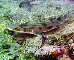 https://i0.wp.com/upload.wikimedia.org/wikipedia/commons/thumb/a/a0/Carpetshark.jpg/240px-Carpetshark.jpg