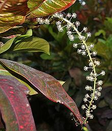 Codiaeum variegatum  Wikipedia