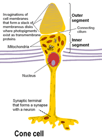 basic neuron diagram 1997 ford f350 wiring photoreceptor cell - wikipedia