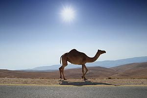 Desert Road Camel by Photos8.com