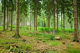 Ejemplo de bosque templado de coníferas