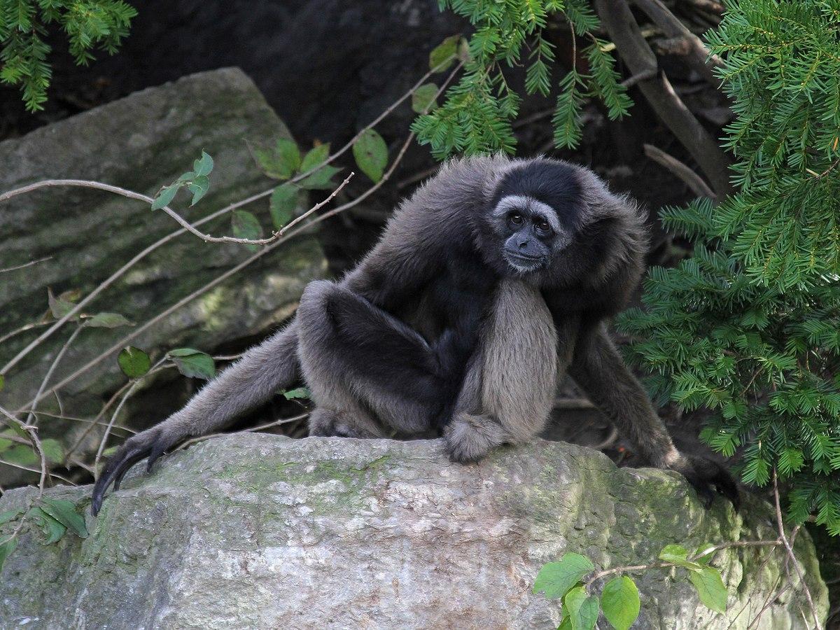 Mellers gibbon  Wikipedia