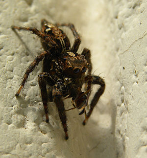 English: Spider