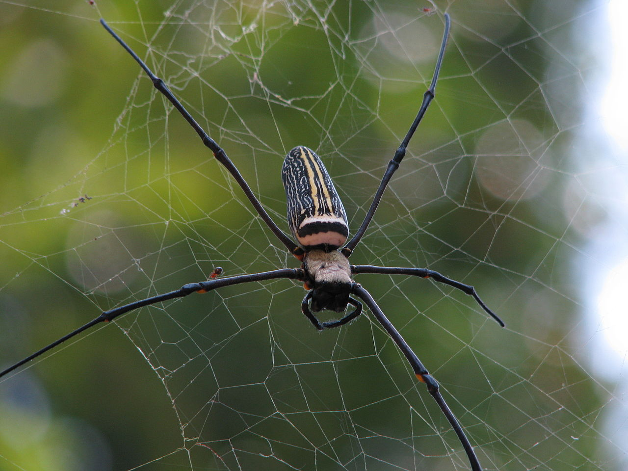 FileSpider In Madhabpur Forest Srimangaljpg Wikimedia Commons