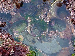 Seaweed and two chitons in a tide pool