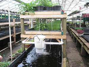 An aquaponic system that involves tilapia or p...