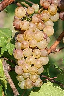 Auxerrois Blanc vine