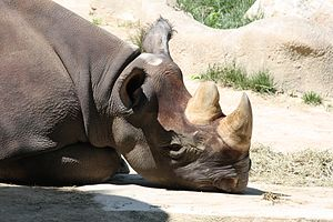 English: Black Rhinocerous Diceros bicornis mi...