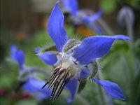 https://i0.wp.com/upload.wikimedia.org/wikipedia/commons/thumb/a/a1/Borage-flower-hr.jpg/200px-Borage-flower-hr.jpg