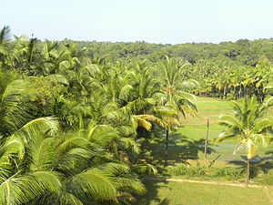 Coconut trees and paddy field 01