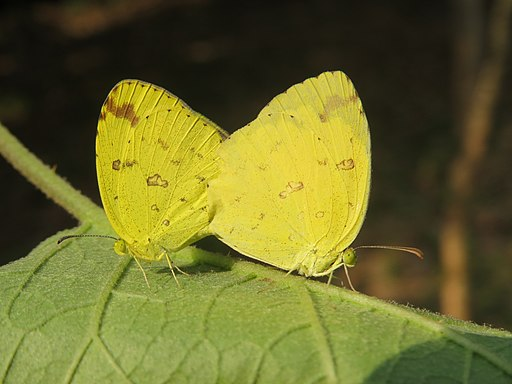 Eurema hecabe Linnaeus, 1758 – Common Grass Yellow mating at Mayyil (12)