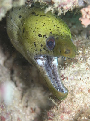 Image of fimbriated moray, Gymnothorax fimbria...