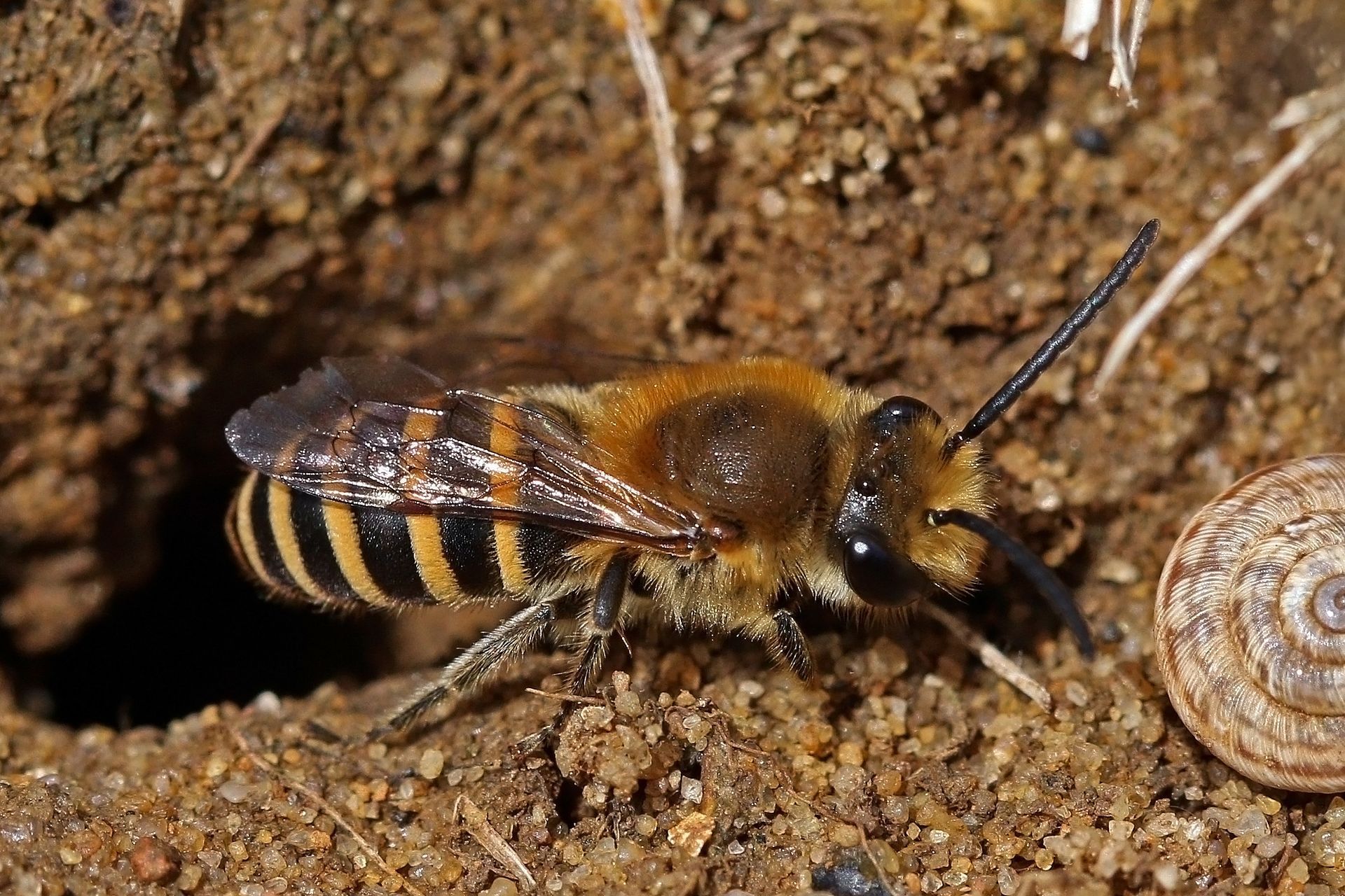 Colletes Hederae Wikipedia