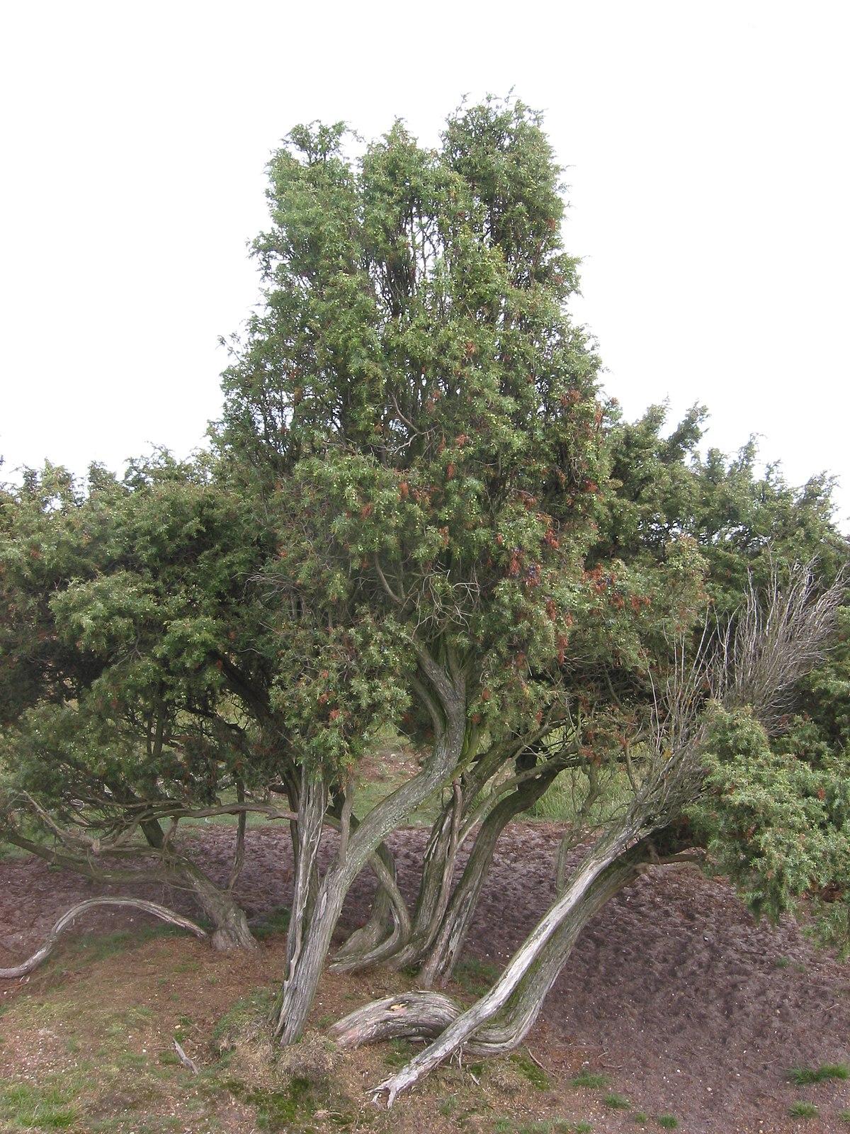 Category:Juniperus communis – Wikimedia Commons