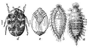 Four stages of the carpet beetle from right to...