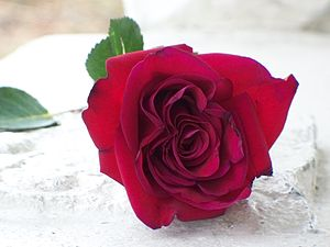 English: Red rose