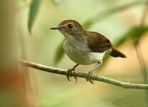 A White-chested Babbler (Trichastoma rostratum...