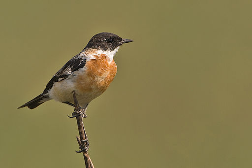 Adult at Jim Corbett National Park, India