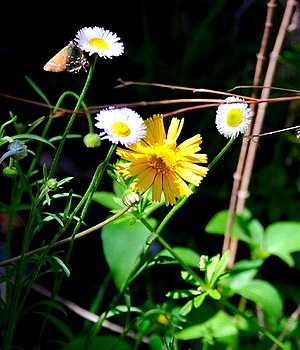English: Wildflowers along the Barton Creek Gr...