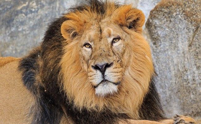 Leeuw Dier Wikipedia
