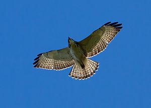 Juvenile Broad-winged Hawk, Buteo platypterus,...