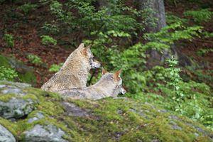 Deutsch: Wölfe in einem Freigehege im National...