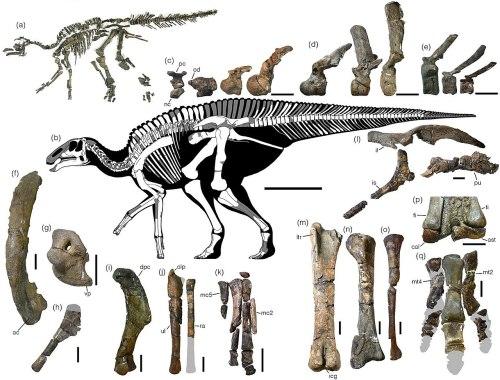 Holotype skeleton of Kamuysaurus.jpg